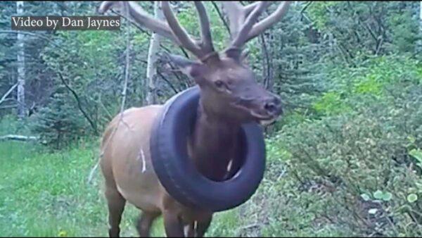 脖子套轮胎两年 驼鹿终获解脱